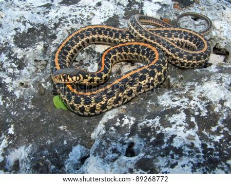 Plains Garter Snake, Thamnophis radix - stock photo