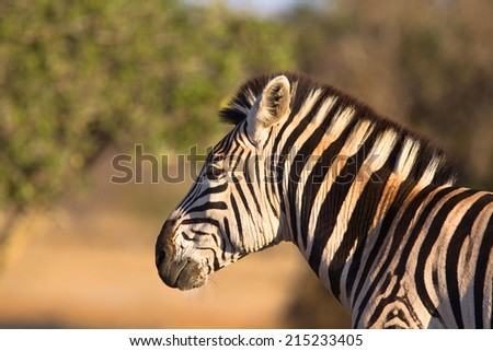 Plains  or Burchell's Zebra (Equus quagga) head and shoulders in a blurred natural setting, South Africa
