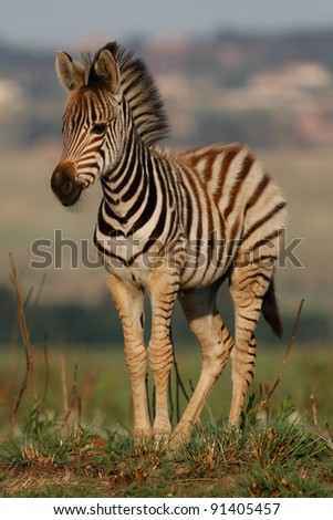 Plains young Zebra - stock photo