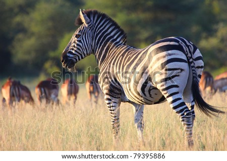 Plains Zebra - stock photo