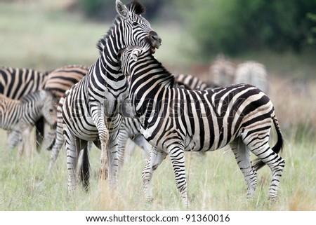 Plains Zebra - stock photo
