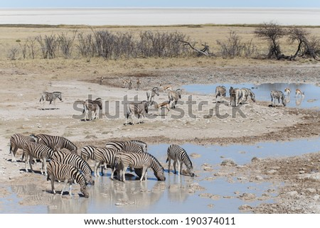 Plains Zebra Drinking in Etosha National Park, Namibia, Africa - stock photo