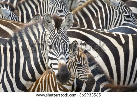 Plains zebra (Equus burchellii) portrait from mother with foal in herd, Serengeti national park, Tanzania. - stock photo