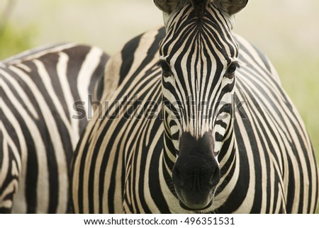 Plains Zebra, Equus quagga chapmani, wet season, portrait, Kruger National Park, South Africa