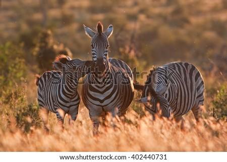 Plains zebra, Equus quagga, Equus burchellii - stock photo