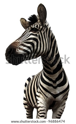 Plains Zebra on White Background with emphasis on head - stock photo