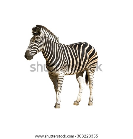 Plains zebra. Two striped zebra,isolated on white background, with clipping path - stock photo