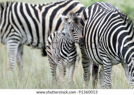 Plains Zebra with calf - stock photo