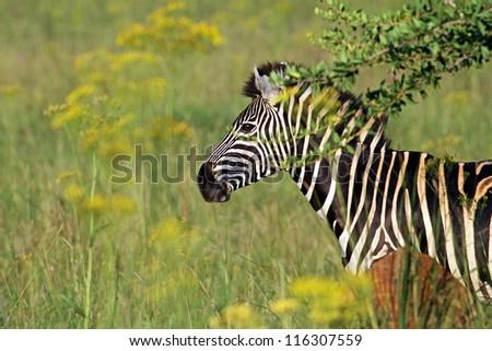 Plains Zebras - stock photo
