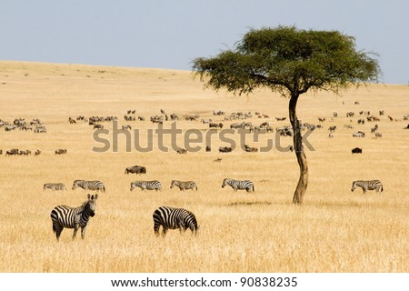 Plains zebras (Equus quagga) and Gnus in Masai Mara, Kenya - stock photo