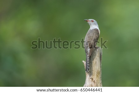 Cuckoo Stock Images Royalty Free Images Amp Vectors