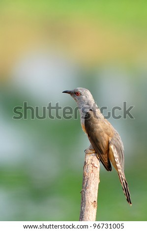 Plaintive Cuckoo bird siiting on branch whit green background from Thailand