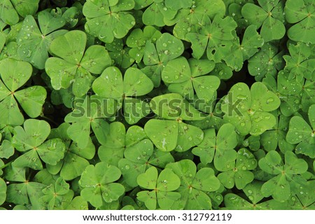 plan look like four-leaf clover (natural texture) - stock photo