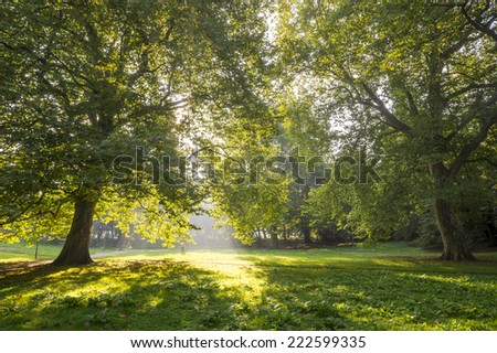 plane tree in the park in the morning light