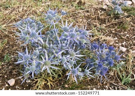plant and inflorescences of amethyst sea holly, eryngium amethystinum - stock photo