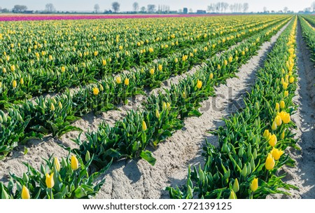 Plant beds with budding and yellow blooming tulips diagonally into the picture. The tulips always bloom first on the sunny side of the beds. - stock photo