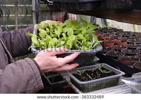 plant breeding in spring in glass house - stock photo