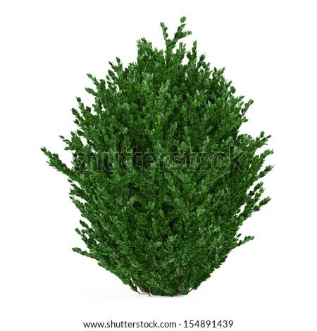 Plant bush isolated - stock photo