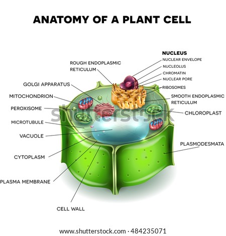 Cell diagram stock images royalty free images vectors plant cell structure cross section of the cell detailed colorful 3d illustration ccuart Image collections