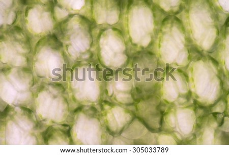 plant cells under microscope.400x - stock photo