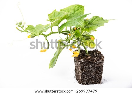 plant cucumber seedlings to grow in the greenhouse. Grow cucumbers pretty simple, but to get a good crop, it is necessary to know the agricultural techniques - stock photo