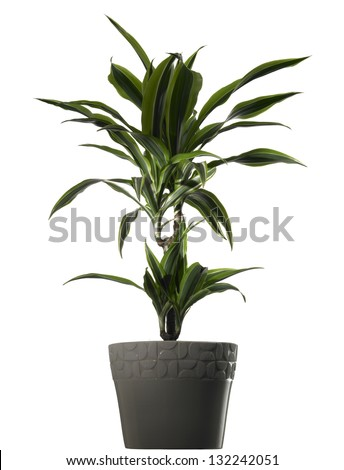 plant dracena in vase on white background