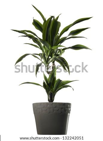 plant dracena in vase on white background - stock photo