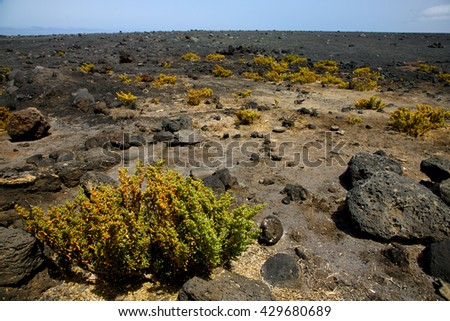 plant flower  bush timanfaya  in los volcanes volcanic rock stone sky  hill and summer  lanzarote spain - stock photo