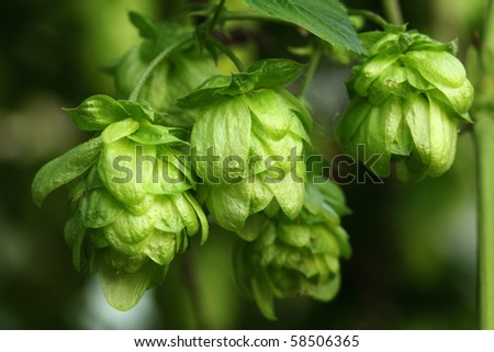 Plant hops close-up - stock photo