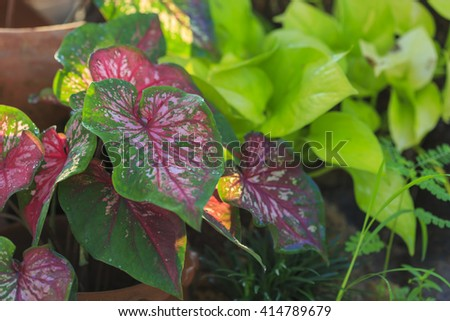 Plant of a red-and-green-leaved caladium cultivar (Caladium bicolor)  - stock photo
