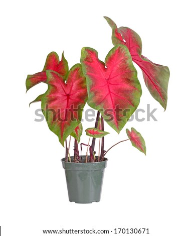 Plant of a red-and-green-leaved caladium cultivar (Caladium bicolor) in a small plastic pot ready to be transplanted into a garden