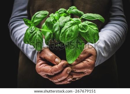 plant of basil - stock photo