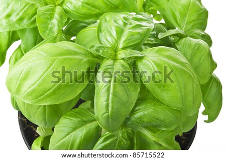 Plant of basil close up