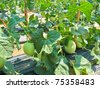 Plant of Cantaloupe,North East,Thailand - stock photo