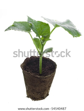 plant of cucumber in peat pot  isolated on white - stock photo