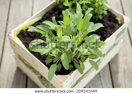 Plant of fresh sage growing in a wooden box. - stock photo