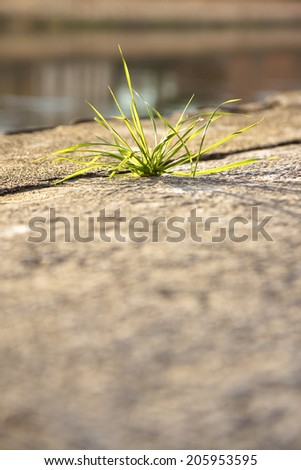 Plant of grass taking root in a crack of a concrete wall Reduced depth of field. - stock photo