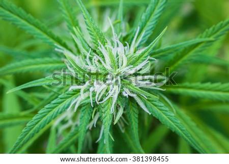 Plant of marijuana background whit bokeh, selective focus - stock photo