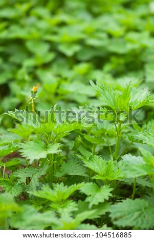 plant of  nettle in spring garden
