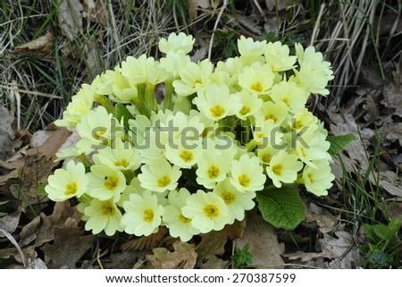 plant of primrose in full blooming - stock photo