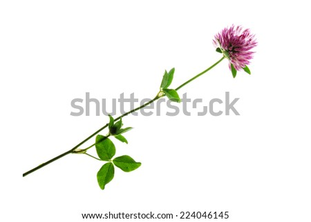 Plant of red clover isolated on white  - stock photo