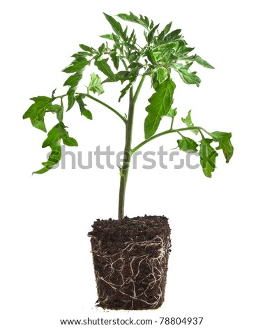 plant of tomato isolated on white background - stock photo