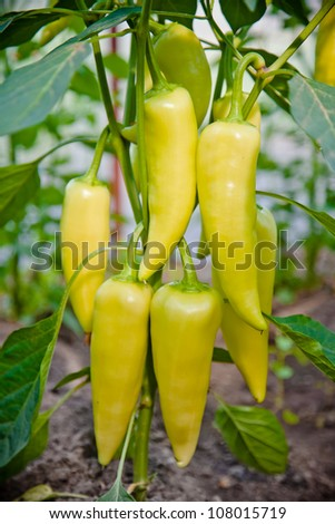 plant of yellow paprika - stock photo