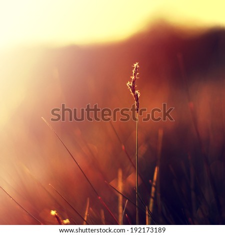 plant on background of orange sunset in summer field - stock photo