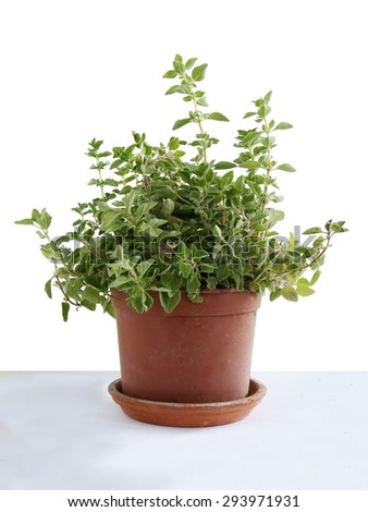 plant oregano herb in pot