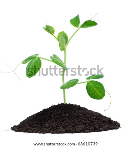 Plant pea and soil, isolated on white background - stock photo