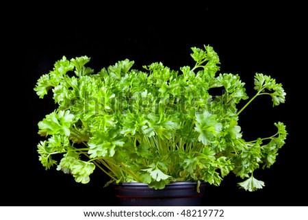 Plant pot with parsley isolated on a black background. - stock photo