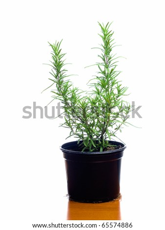 Plant rosemary in a flower pot isolated on a white background ...