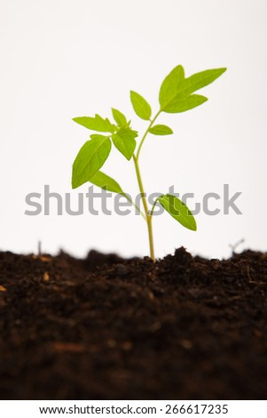 plant shoot of young tomato sapling in brown garden soil, on white background