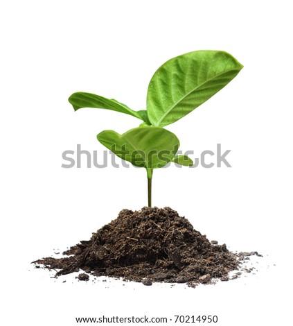 plant tree white background - stock photo